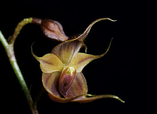 puro-orchid-1
