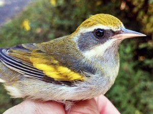 A young Golden-winged Warbler banded at the Rouge River Bird Observatory.