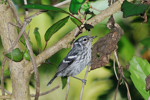 Elfin-woods Warbler. Photo by Mike Morel/USFWS under a Creative Commons license.